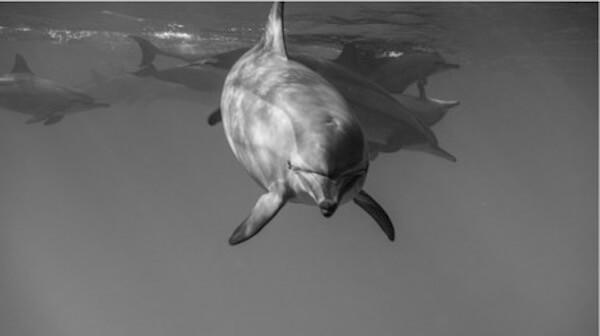 rencontre avec les êtres-dauphins dauphin noir et blanc